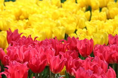 Tulip Pretty Lady 1 Arkivbilder