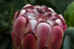 Tulip Princess Protea Fotografie Stock