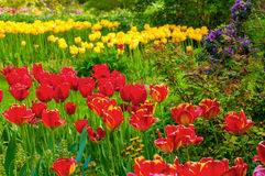 Tulip profusion. A profusion of brilliant red and yellow tulips growing in a botanical garden royalty free stock image
