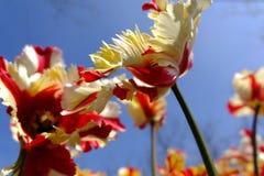 Tulip of pujiang park,Shanghai stock image
