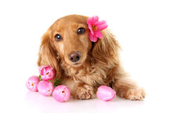 Tulip puppy Stock Photo