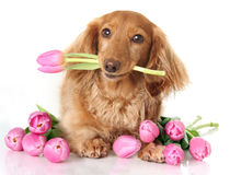 Tulip puppy royalty free stock photography