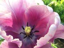 Tulip. Purple tulip flower Royalty Free Stock Images