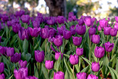 Tulip purple flowers in the morning`s public gardens. Petals condensation Stock Photos
