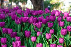 Tulip purple flowers in the morning`s public gardens. Petals condensation Royalty Free Stock Photo