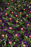 Tulip and purple pansies garden detail Stock Photography