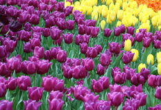 Tulip 5. Purple, red, orange tulips bulbs about to bloom Royalty Free Stock Image