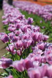 Tulip. Purple tulips in a row Stock Images