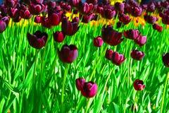 Tulip Queen della notte Fotografie Stock