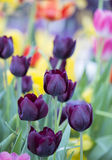 Tulip (Queen of Night) Stock Photos