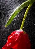 Tulip in the rain Royalty Free Stock Photos