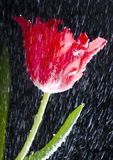 Tulip in the rain Stock Images
