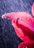 Tulip in the rain Royalty Free Stock Image