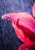 Tulip in the rain Royalty Free Stock Image