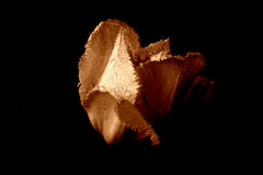Tulip in the rain [3] stock photography