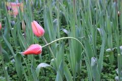 Tulip After The Rain stockbild