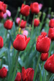 Tulip After The Rain. The red tulips in Spring flower exhibition Dutch impression after rain Stock Image