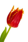 Tulip red Stock Photography
