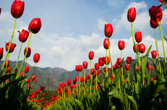 Tulip. Red tulip  against blue sky Royalty Free Stock Image