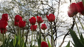 Tulip red flower. Tulip in garden wind evening stock footage