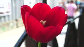 Tulip red flower waving on wind close up. Tulip red flower waving on wind stock footage