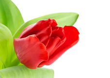 Tulip red flower Royalty Free Stock Photo