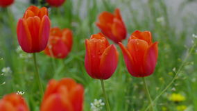 Tulip red flowers field landscape. Video 4k stock video