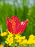 Tulip. Red tulip in the garden Royalty Free Stock Photos