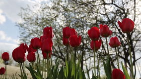 Tulip red. Tulip in garden wind evening stock footage