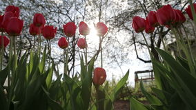 Tulip red. Tulip in garden wind evening stock video footage
