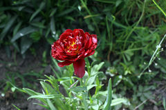 Tulip. Red tulip, many leaves, on a green background Stock Photography