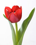 Tulip red open Stock Photography