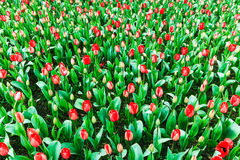 Tulip. Red Tulip, spring is coming stock image
