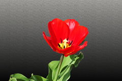 Tulip  red spring flower closeup background Royalty Free Stock Photo