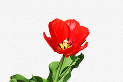 Tulip  red spring flower closeup on  sky blue  background Royalty Free Stock Images