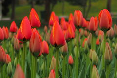 Tulip. The red tulips royalty free stock photo