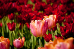 Tulip on red tulips background Stock Image
