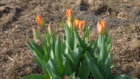 Tulip red stock video