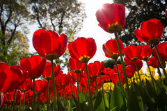 Tulip. The red tulips in sunshine Stock Images