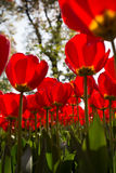 Tulip. The red tulips in sunshine Royalty Free Stock Photo