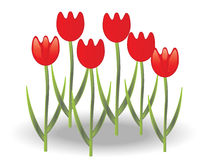 Tulip. Red tulips on white background Royalty Free Stock Photos