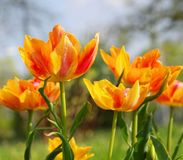 Tulip red yellow Royalty Free Stock Image