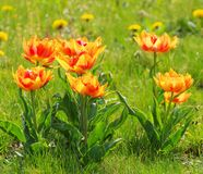 Tulip red yellow Royalty Free Stock Photography