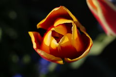 Tulip. Red yellow tulip with green background Stock Photography