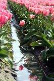 Tulip Reflection. Many pink tulips with a reflection in the water royalty free stock photos