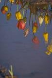 Tulip reflection Royalty Free Stock Photos