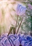 Tulip Rising Above Others bleue et blanche photographie stock libre de droits