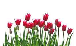 Tulip Row Royalty Free Stock Image