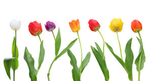Tulip Row Stock Photography