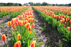 Tulip Rows. Tulips at the Skagit Valley Tulip Festival in Washington state, USA Royalty Free Stock Image